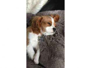 Male king charles spaniel puppy
