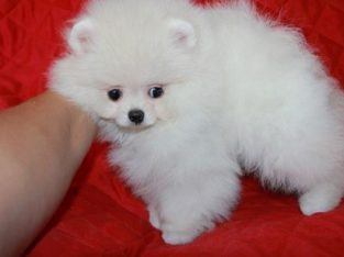 Pure White Pomeranian Puppies