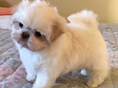 American Shih Tzu Boys and Girls Available