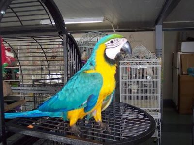 healthy blue and gold macaw babies