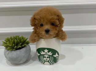 Cute Poodle Puppies for sale