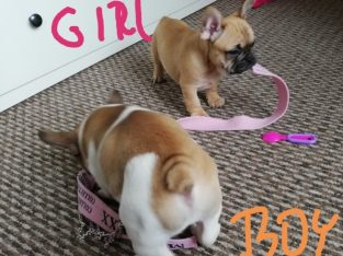 Top show quality litter of 5 french bulldog puppies available now.