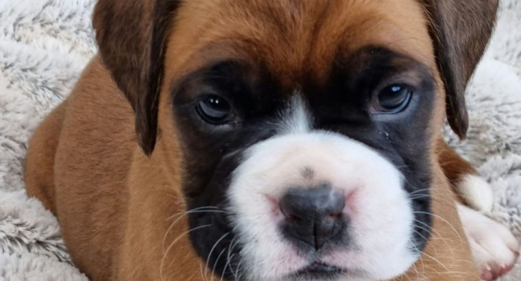 Boxer Puppies whatsapp me on +447440524997 Our puppies have been vaccinated, chipped, dewormed several times and have a health certificate from vet .Our puppies are well socialized, used to children and other pets. Come and see for yourself and see our puppies. We are available every day . Don't hesitate to contact with the subject via whatsapp +447440524997