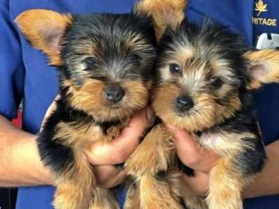 Adorable Teacup Yorkie Puppies +447440524997 They are outstanding quality yorkie and They love to be held, pampered an also love hanging out and very friendly to other Animals and kids. They are 12 weeks old and are ready for their new home +447440524997